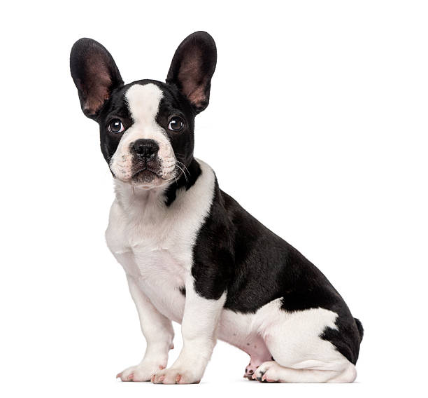 French bulldog puppy picture id513077987?b=1&k=6&m=513077987&s=612x612&w=0&h=xndwxtfklexvuysn0ykt  tady bksgfn5y9marxcga=