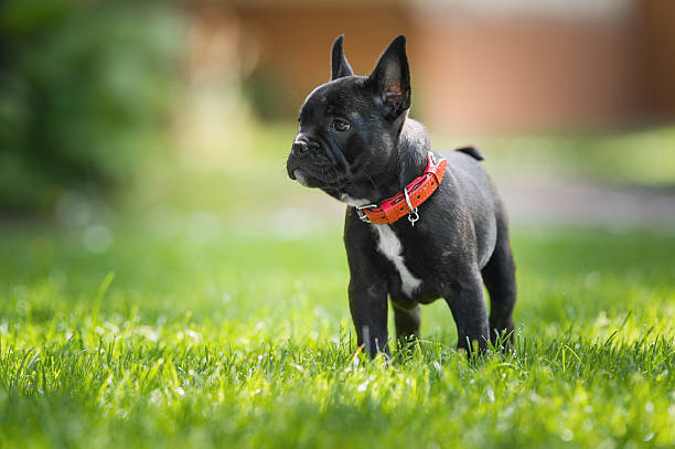 French bulldog puppy picture id538046400?b=1&k=6&m=538046400&s=612x612&w=0&h=nvxrcgam4jj65ynxg 8m6y rnyooowlc6pudvaz3voy=