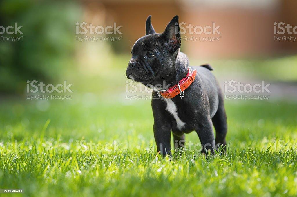 Französische Bulldogge Welpen  – Foto
