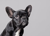 French bulldog puppy looking up on gray background