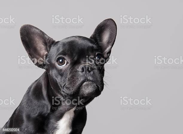 French bulldog puppy picture id546202024?b=1&k=6&m=546202024&s=612x612&h=gefz3xefmroxiwpmuudck8akhk9svrxrvnfr3ykwgj0=