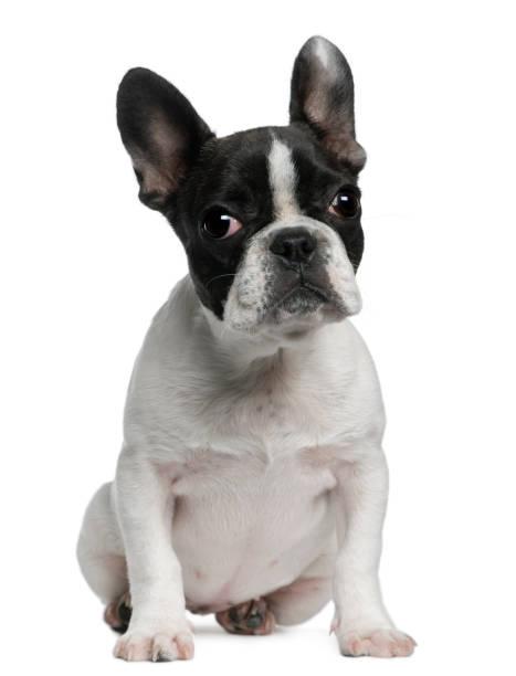 French bulldog puppy picture id843326432?b=1&k=6&m=843326432&s=612x612&w=0&h=ty0bv7j5fkazda8yd0cgnuuttxrlvht9n4bnuse5zq4=