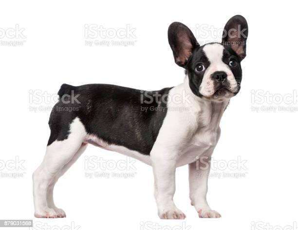 French bulldog puppy picture id879031568?b=1&k=6&m=879031568&s=612x612&h=ghmvcpqgoa e5gz6zvebktos30b9wlvnvjmgamqnnoi=