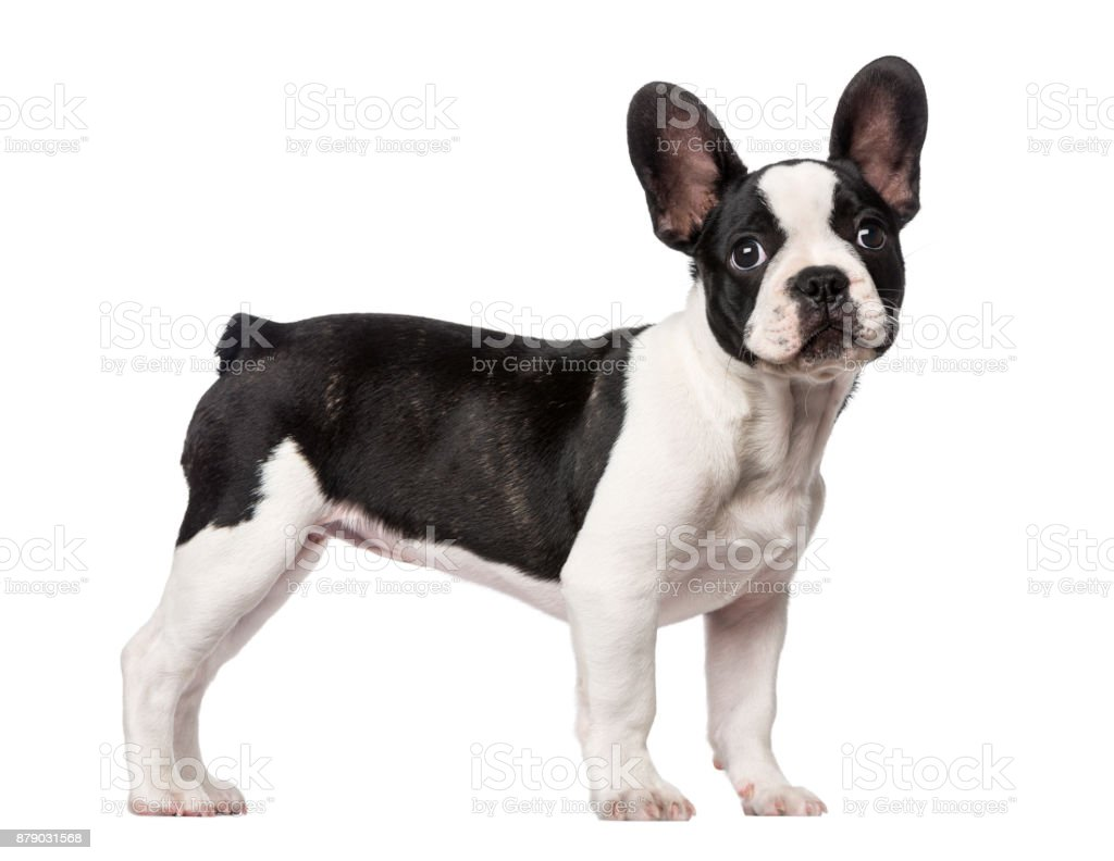 French Bulldog puppy (3 months old) stock photo