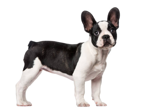 French Bulldog puppy (3 months old) French Bulldog puppy (3 months old) french bulldog stock pictures, royalty-free photos & images
