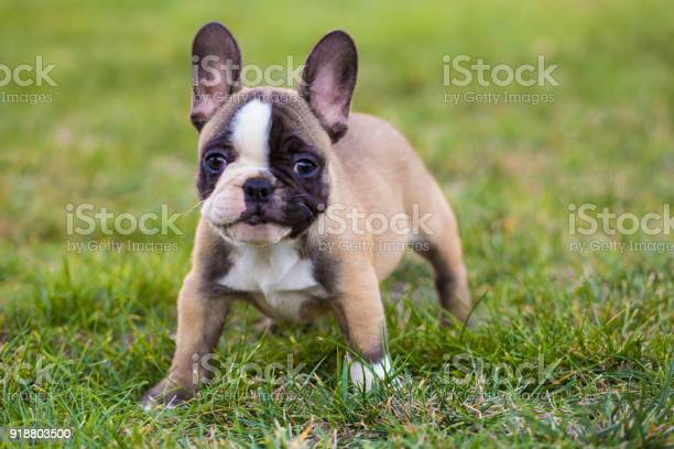 French bulldog puppy picture id918803500?b=1&k=6&m=918803500&s=612x612&h=5bxdk2hutb fi6byz2omhipqndgxxopr7k frsf3fps=