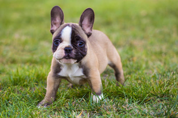 french bulldog puppy - puppy stock pictures, royalty-free photos & images