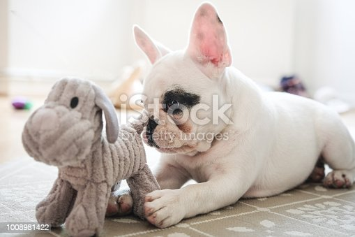 French Bulldog puppy playing with her dog toy in the living room, England