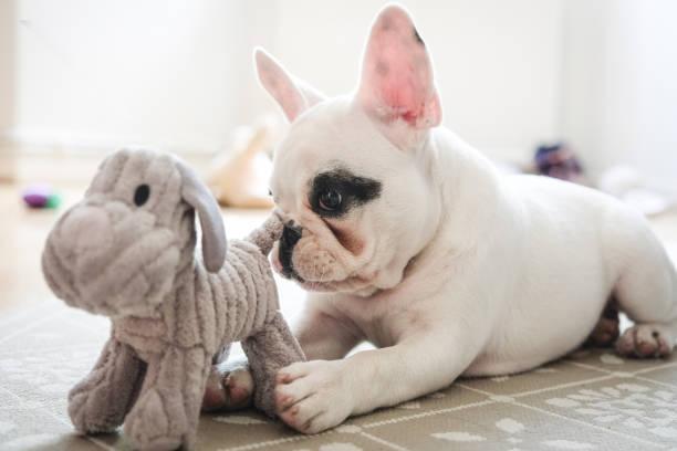 franse bulldog puppy spelen met speelgoed van de hond. - hondenkluif stockfoto's en -beelden