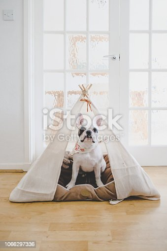 French Bulldog puppy relaxing inside a handmade teepee tent