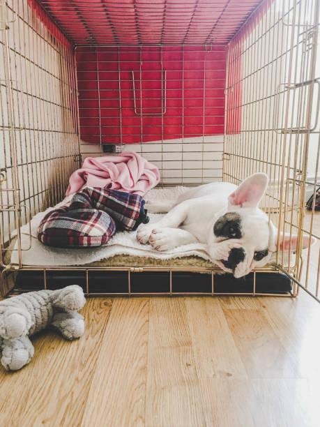 französisch bulldogge welpe ruht in einer metallkiste - holzkiste stock-fotos und bilder