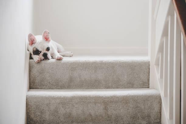 französische bulldogge welpen ruht auf der treppe, die landung, england - teppich englisch stock-fotos und bilder