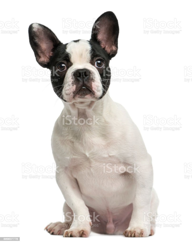 French Bulldog Puppy Sitting 4 Months Old Isolated On White Stock Photo Download Image Now Istock