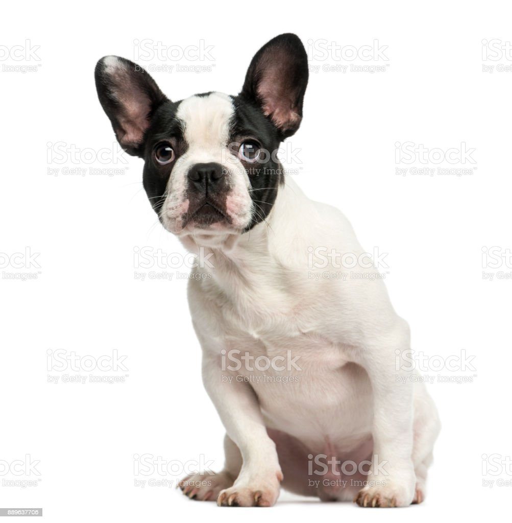 French bulldog puppy sitting, looking intimidated, 4 months old, isolated on white - fotografia de stock