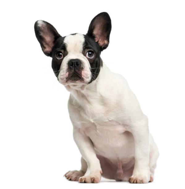 oturmuş, 4 aylık korkutmak, seyir fransız bulldog köpek yavrusu üzerinde beyaz izole - safkan köpek stok fotoğraflar ve resimler