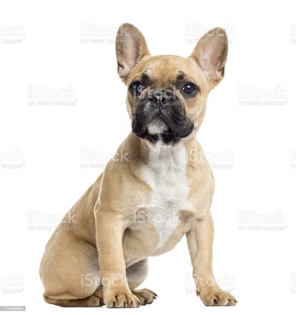 French Bulldog Puppy Sitting Looking Up Isolated On White Stock Photo Download Image Now Istock