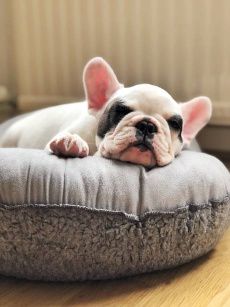 French bulldog puppy sleeping on dog bed French bulldog puppy sleeping on dog bed taken on mobile device stock pictures, royalty-free photos & images