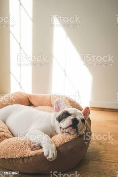 French bulldog puppy sleeping on dog bed picture id995691042?b=1&k=6&m=995691042&s=612x612&h=wqui6z01qlvubtlsbt shxxyccxdndyl4as mno5rpc=