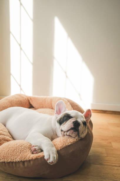 französische bulldogge welpen schlafen auf hundebett - katzen kissen stock-fotos und bilder