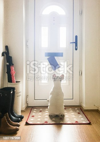 Dog waiting for mail by the front door