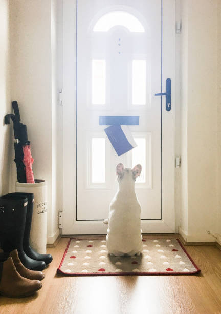 French Bulldog puppy staring at the mail came through the mail slot on the front door of an English home, England Dog waiting for mail by the front door taken on mobile device stock pictures, royalty-free photos & images