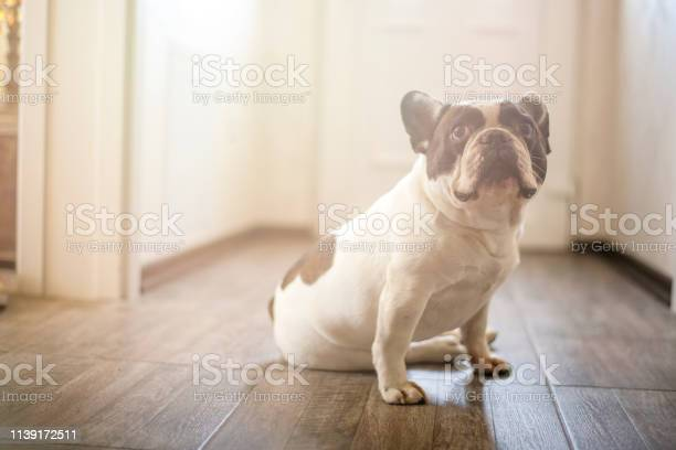 French bulldog puppy waiting at the door to go outside picture id1139172511?b=1&k=6&m=1139172511&s=612x612&h=gd0wwk qzdochrciopojhglisacfw9wipioze1pwtuk=