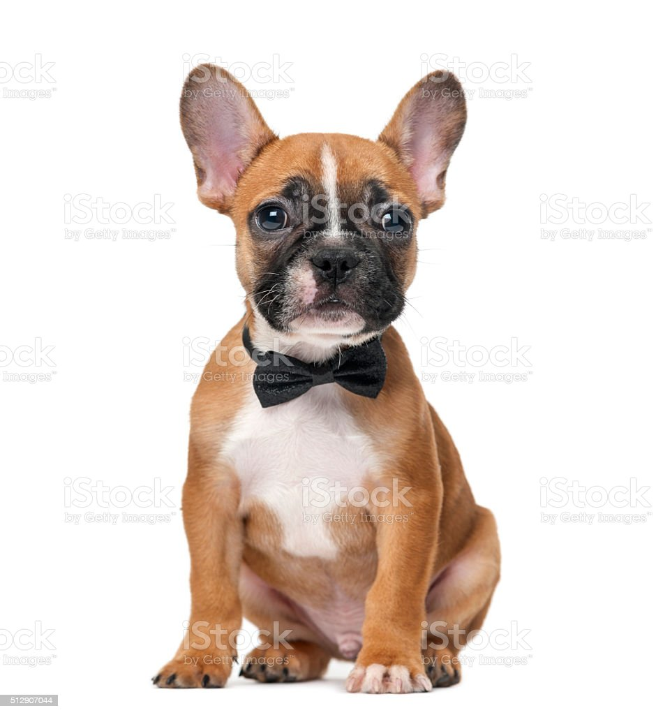 French bulldog puppy wearing a bow tie stock photo