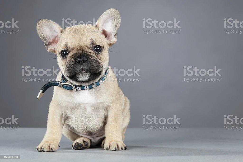 Bulldog Francese Cucciolo Con Strass Collo Fotografie Stock E