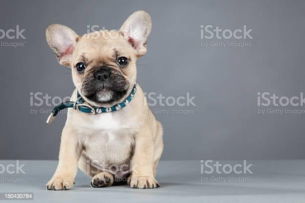 French bulldog puppy wearing rhinestone collar picture id150430784?b=1&k=6&m=150430784&s=612x612&h=ca0w0t5uclshyxwquvp7ltroaupjl1g1 ud7qy6podc=