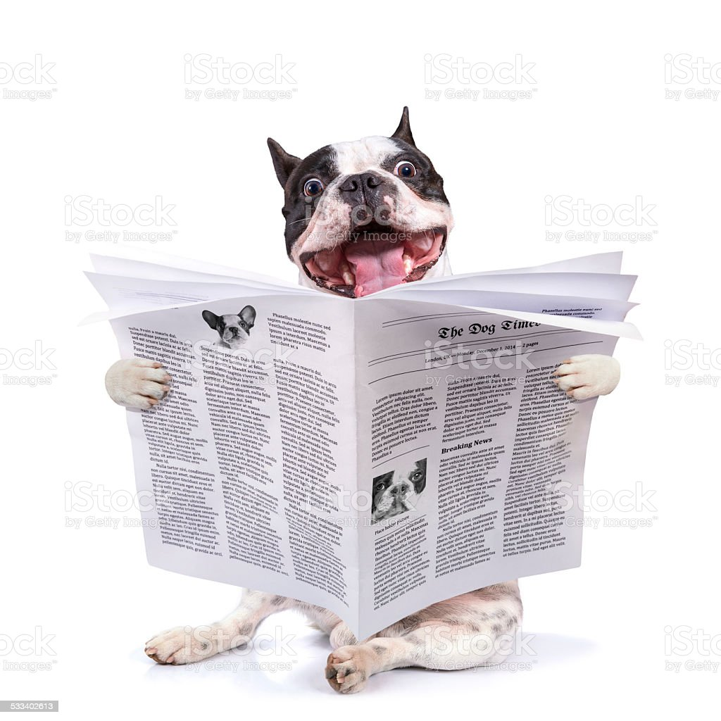 French bulldog reading newspaper stock photo
