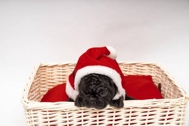 French Bulldog ready for Christmas stock photo