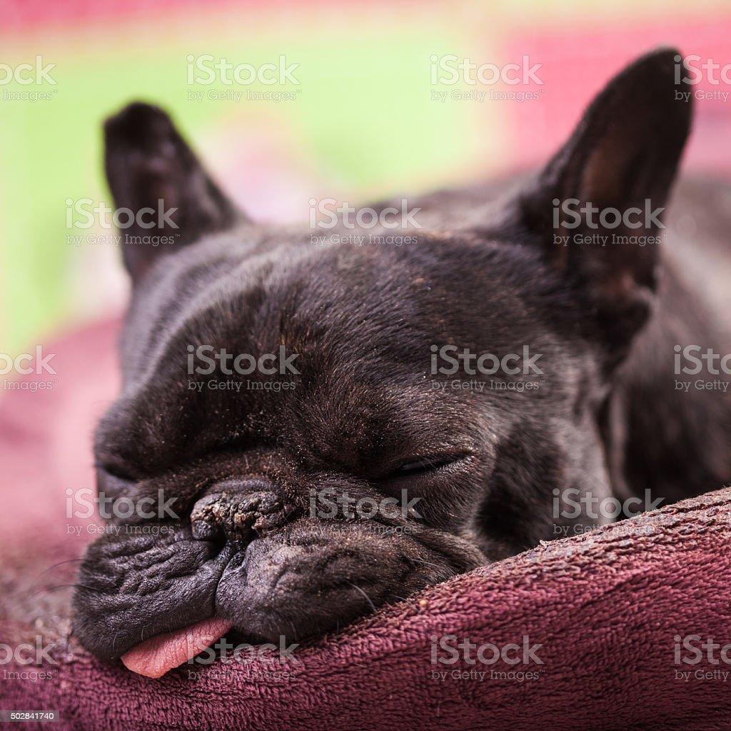french bulldog relaxing stock photo