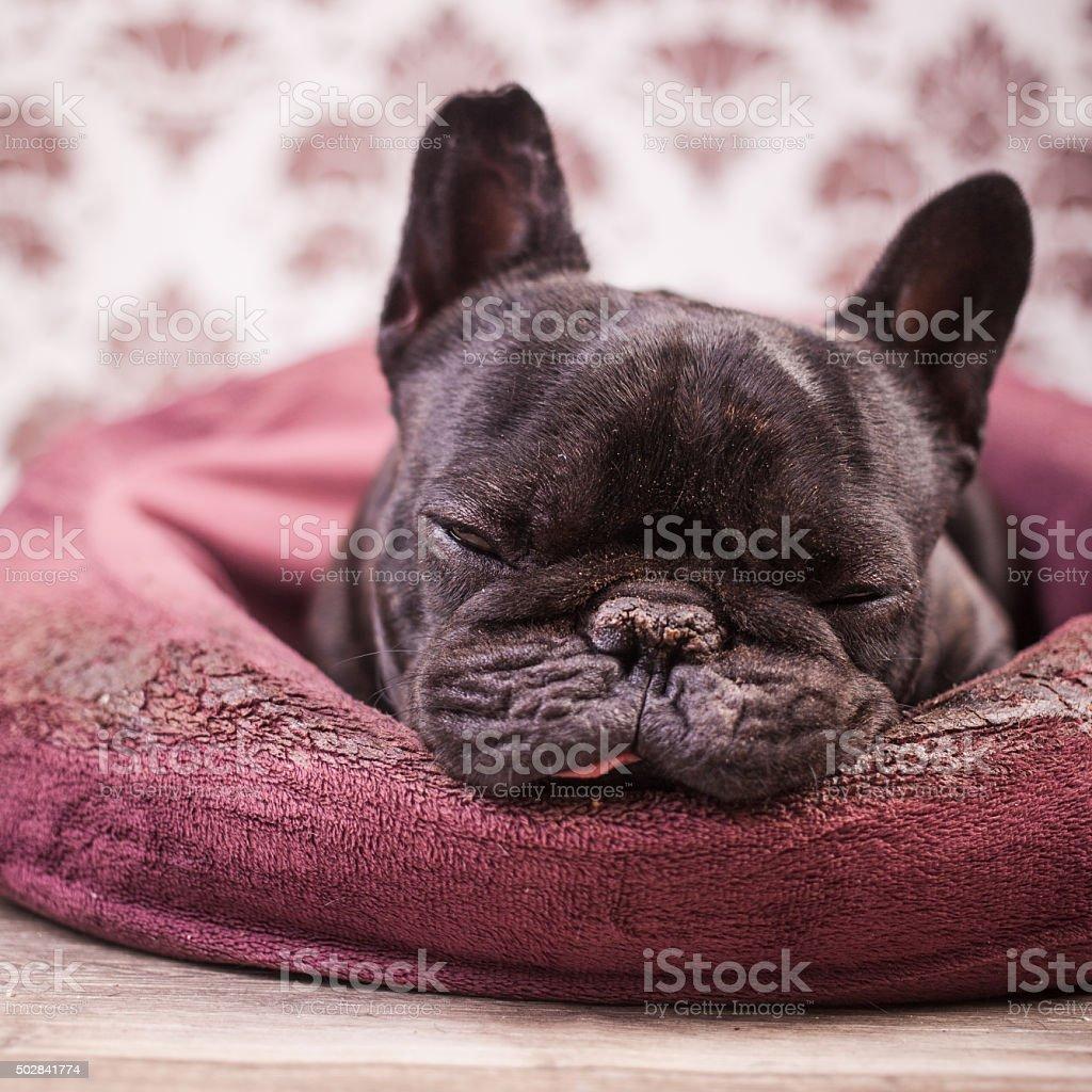 Französische Bulldogge Entspannen – Foto