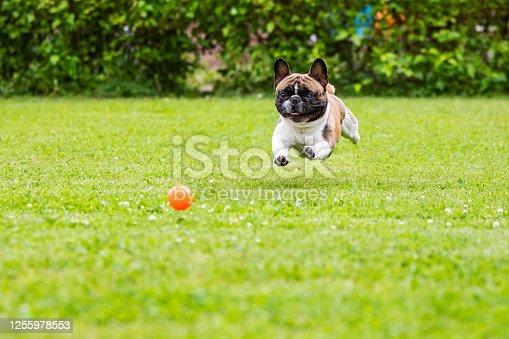 Senior French Bulldog