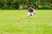 istock French Bulldog resting at home 1255978553