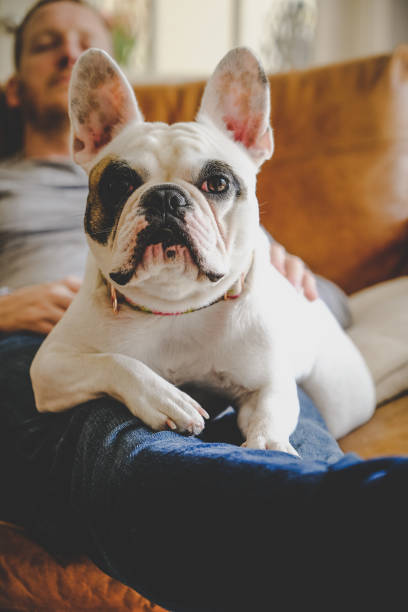 bulldog francés descansando sobre las vueltas del hombre - couch potato refrán en inglés fotografías e imágenes de stock
