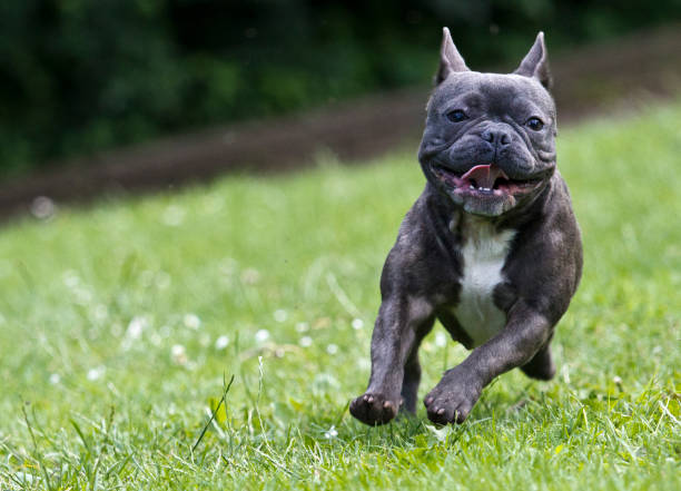 French bulldog running over a green meadow stock photo