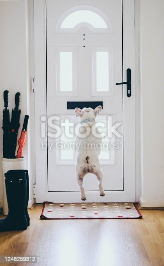 Frenche dog jumping to get mail from mail slot