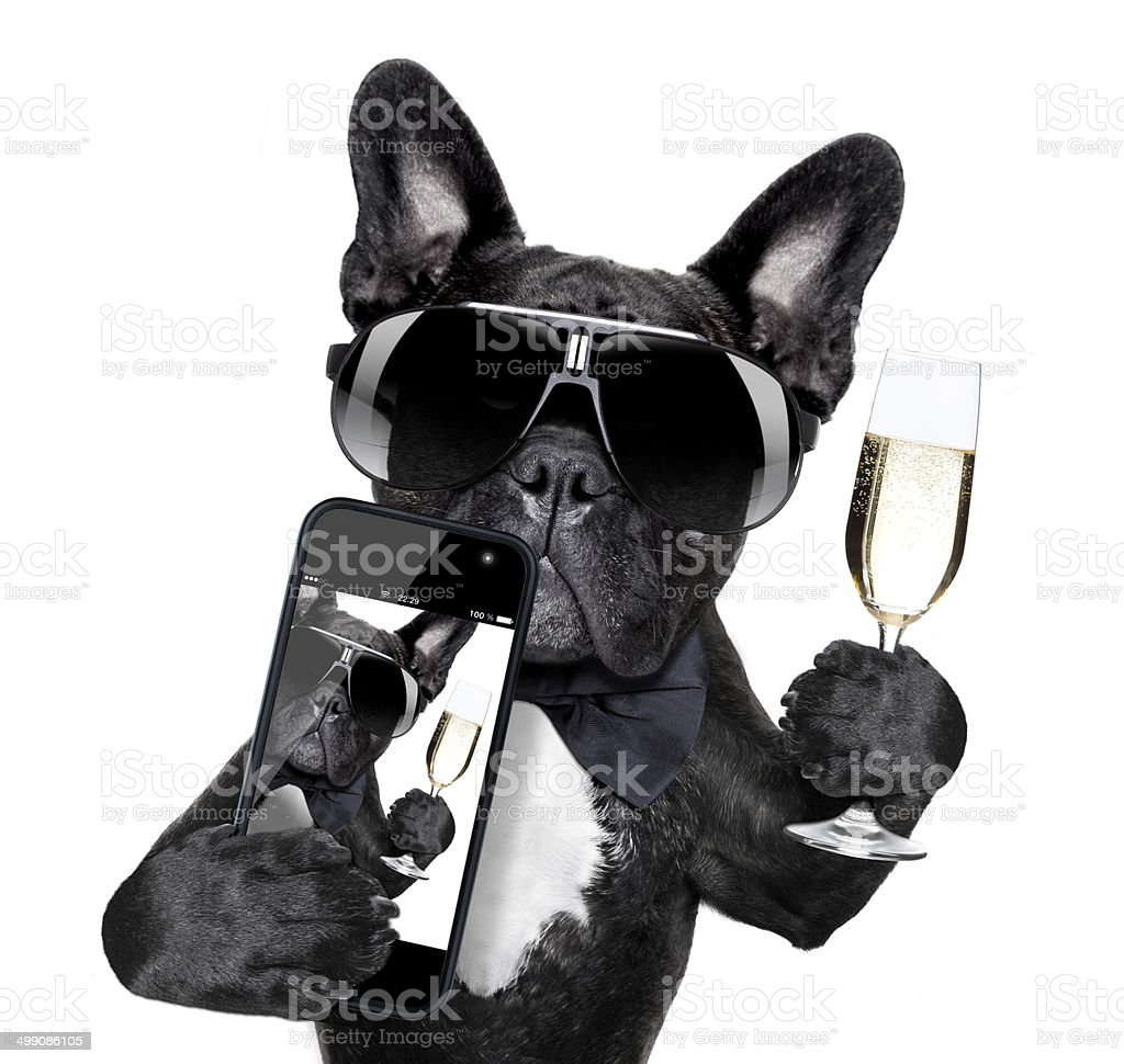 french bulldog selfie stock photo