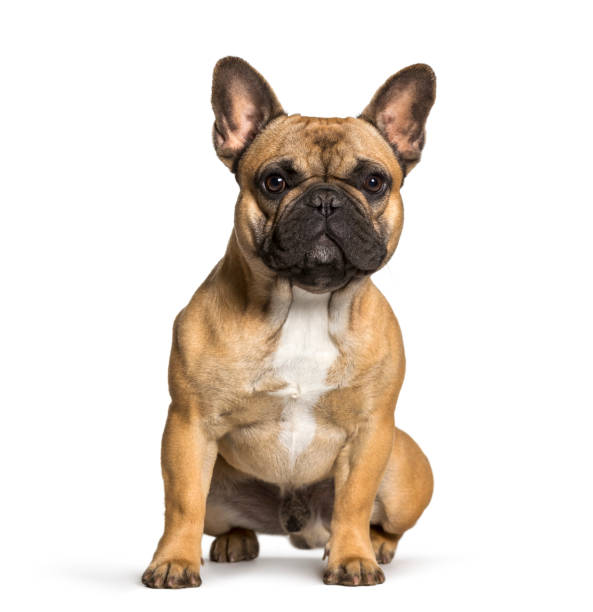French bulldog sitting against white background French bulldog sitting against white background french bulldog stock pictures, royalty-free photos & images