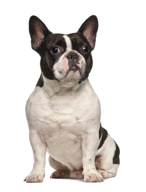 French bulldog sitting against white background picture id981718894?b=1&k=6&m=981718894&s=612x612&w=0&h=dpumgun maeqw7jzljheynvrdcktzjkwtsh6hrx slq=