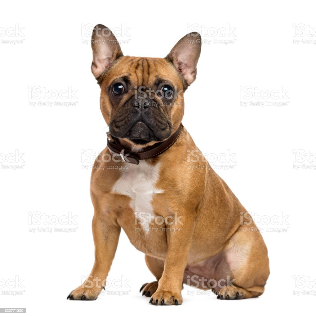 French Bulldog sitting and looking at the camera, isolated on white – zdjęcie