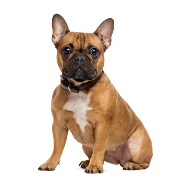 法國鬥牛犬坐,看著相機上白色, 孤立 - 衣領 個照片及圖片檔