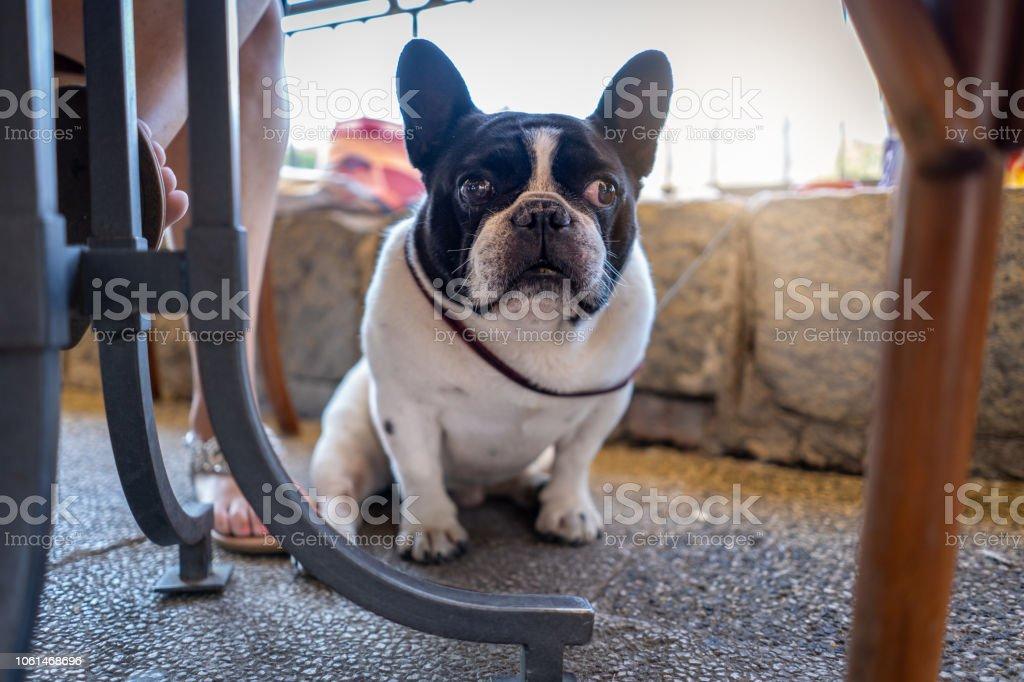 Französische Bulldogge von seinem Besitzer in einem Straßencafé sitzen – Foto