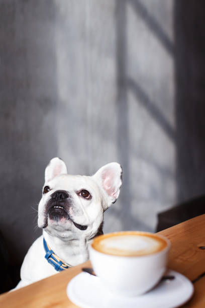 French bulldog sitting in the cafeteria and looking in the window. stock photo