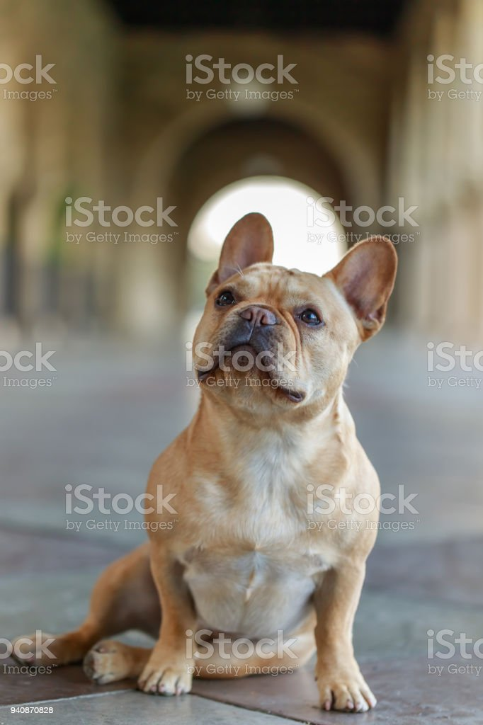 French Bulldog sitting on  the floor and looking up. stock photo