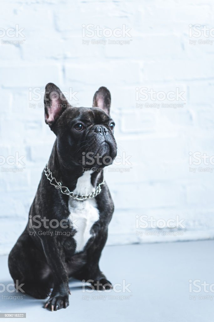 French bulldog sitting on the floor by white wall stock photo