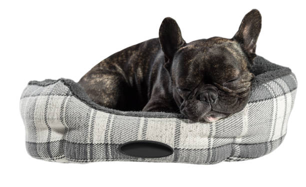 French bulldog sleep in bed picture id686608346?b=1&k=6&m=686608346&s=612x612&w=0&h= cpvuzvndktxlmptmbsch4zscamu0bvzzxa7f n35ui=
