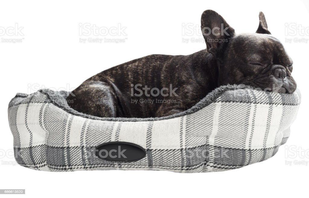 French bulldog sleep in bed royalty-free stock photo