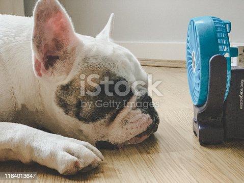Frenchie dog falling asleep next to mini electric fan